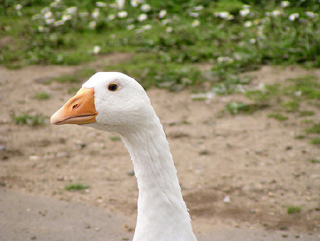 White Goose by Pigpom on Flickr