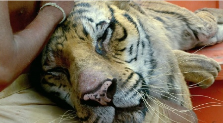 Richard Parker cuddles from the Fox 2000 Pictures film Life of Pi