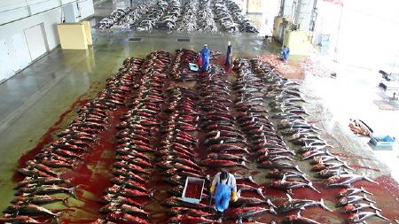 dead sharks from the Rob Stewart documentary Revolution